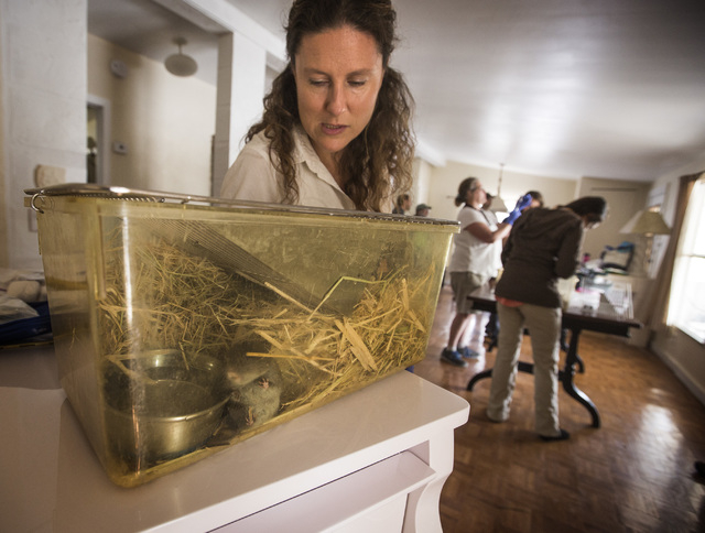 Deana Clifford, wildlife veteran for California Department of Fish and Wildlife, monitors an Amargosa vole Thursday, June 25, 2015, in Shoshone, Calif. Twelve endangered voles were set free at a s ...