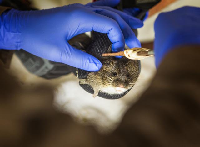University of California, Davis graduate student Risa Pesapane tags an Amargosa voles on Thursday, June 25, 2015, in Shoshone, Calif. Twelve endangered voles were set free at a spring-fed marsh ne ...