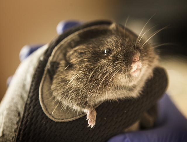 University of California, Davis veterinary professor Janet Foley holds an Amargosa vole, Thursday, June 25, 2015, in Shoshone, Calif. Twelve endangered voles were set free at a spring-fed marsh ne ...