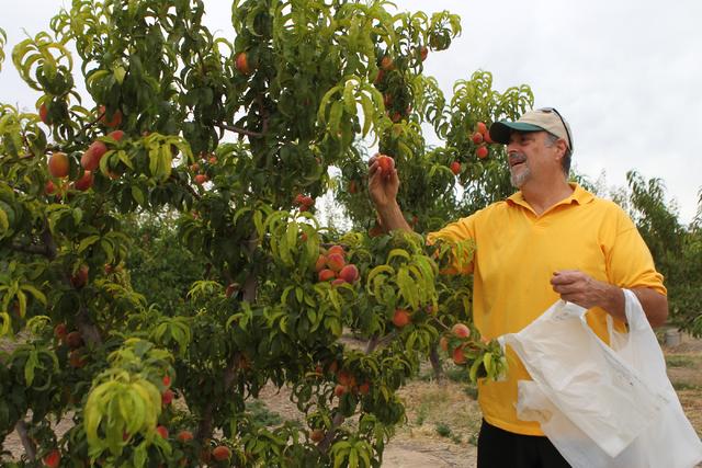 Joe Ippolito picks peaches off a tree at Gilcrease Orchard in Las Vegas Tuesday, June 9, 2015.  (Erik Verduzco/Las Vegas Review-Journal) Follow Erik Verduzco on Twitter @Erik_Verduzco