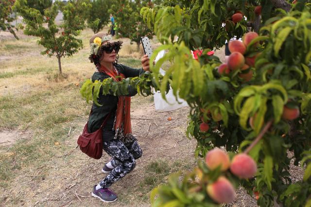 Graces Lee takes photos of a peach tree at Gilcrease Orchard in Las Vegas Tuesday, June 9, 2015.  (Erik Verduzco/Las Vegas Review-Journal) Follow Erik Verduzco on Twitter @Erik_Verduzco