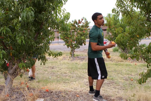 Tevin Johnson picks peaches off a tree at Gilcrease Orchard in Las Vegas Tuesday, June 9, 2015.  (Erik Verduzco/Las Vegas Review-Journal) Follow Erik Verduzco on Twitter @Erik_Verduzco