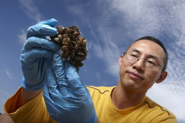 Former UNLV professor Wai Hing Wong examines a clump of quagga mussels at Lake Mead National Recreational Area on July 30, 2009. Wong thinks the mussels probably arrived in Lake Mead before summer ...