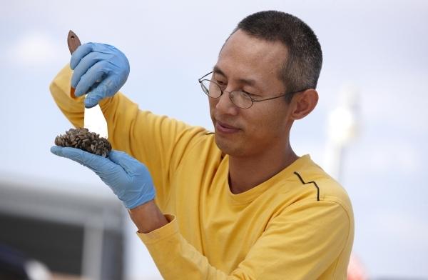 Former UNLV professor Wai Hing Wong examines quagga mussel colonies at Lake Mead National Recreational Area on July 30, 2009. Wong and UNLV professor Shawn Gerstenberger have edited a new textbook ...