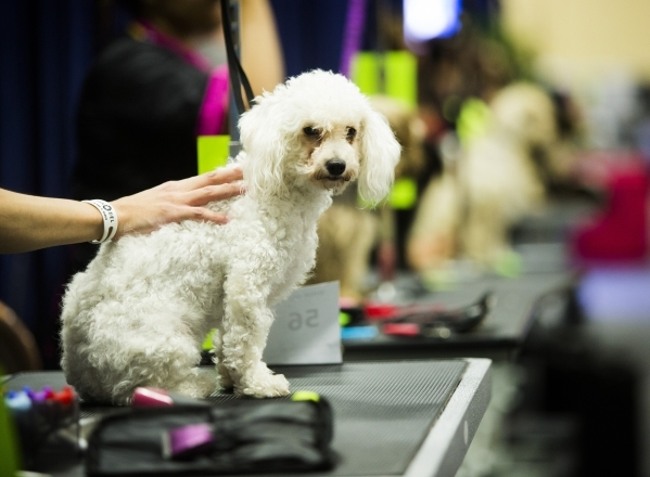 Martha, a rescue dog, sits during the Super Zoo convention at the Mandalay Bay Convention Center,  3950 South Las Vegas Boulevard, on Tuesday, July 21, 2015. Fifty rescue dogs from the Las Vegas v ...