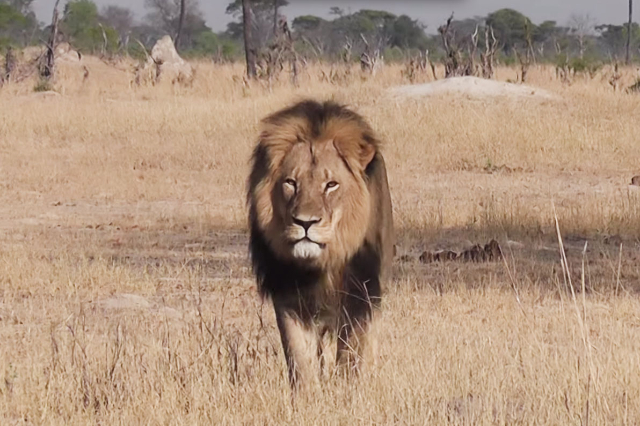 Cecil the lion (Bryan Orford/YouTube)
