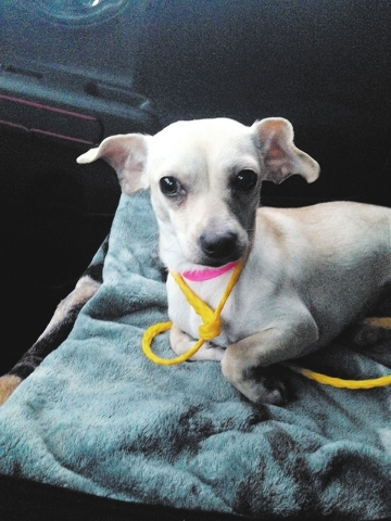 Snowflake, FUPI: My name is Snowflake. I am a sweet female Chihuahua mix. At 1 year and 10 pounds, I would do best with no small children. I like all people, cats and dogs. I love to play, so anot ...