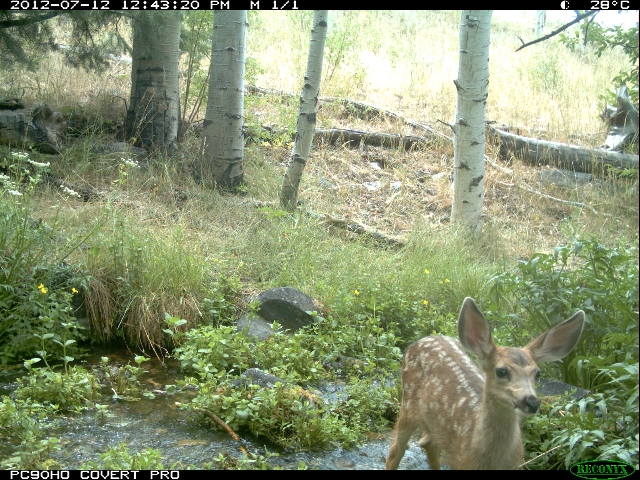 Remote cameras in Great Basin National Park capture images of sheep and wildlife in the park. (Great Basin National Park)