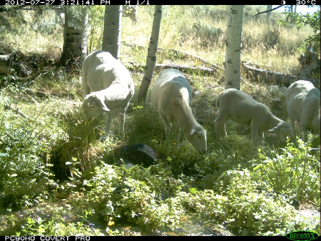A motion-detecting wildlife camera captures sheep grazing in Great Basin National Park. The Southern Nevada Water Authority owns the sheep, which have been trespassing in the park for years despit ...
