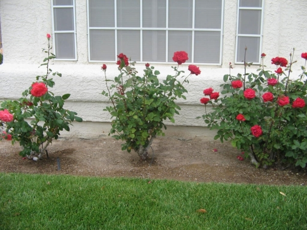 roses grow well in desert climate of southern nevada las vegas