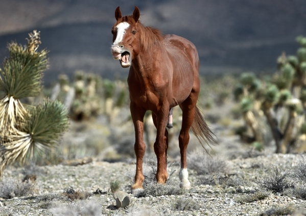 A wild horse appears to be yawning as it grazes near the community of Cold Creek on Friday, Aug. 28, 2015. (David Becker/Las Vegas Review-Journal)