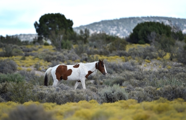 A wild horse makes his way across a field near the community of Cold Creek on Friday, Aug. 28, 2015. (David Becker/Las Vegas Review-Journal)