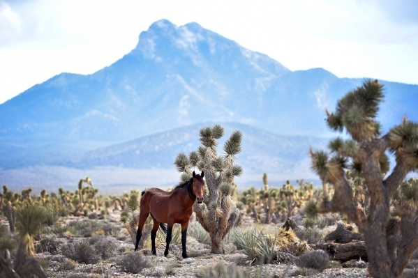 A stallion looks on near the community of Cold Creek on Friday, Aug. 28, 2015. (David Becker/Las Vegas Review-Journal)