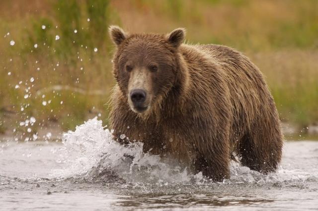 Brown bear (Grizzly bear) chases salmon. Katmai National Park, Alaska (Ferre' Dollar/CNN)