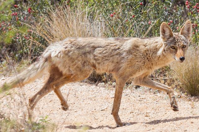Coyote (Thinkstock)