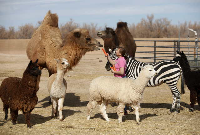 Valerie Holt feeds a carrot to a camel as other animals surround her at the Roos-N-More Zoo in Moapa Town. (John Locher/Las Vegas Review-Journal File)