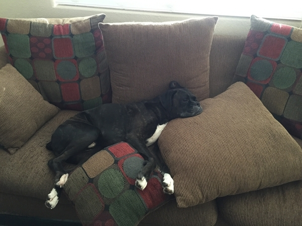 "Jenny Nicholas of Las Vegas said, ""This is my 7-year-old boxer, Rocky, taking over the couch."""