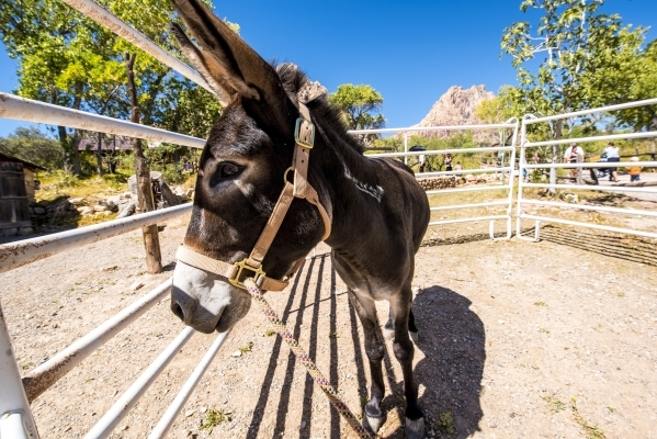 A burro named Jackson is shown during Pioneer Day at Spring Mountain Ranch State Park in Blue Diamond, Nev. on Saturday, Sept. 19, 2015. Joshua Dahl/Las Vegas Review-Journal
