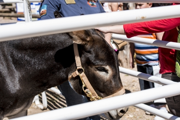 People pet a burro during Pioneer Day at Spring Mountain Ranch State Park in Blue Diamond, Nev. on Saturday, Sept. 19, 2015. Joshua Dahl/Las Vegas Review-Journal