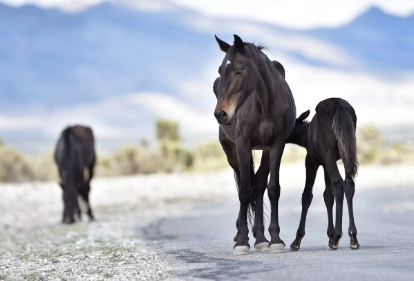 A young foal suckles from his mother as the pair wander near the community of Cold Creek on Friday, Aug. 28, 2015. (David Becker/Las Vegas Review-Journal)