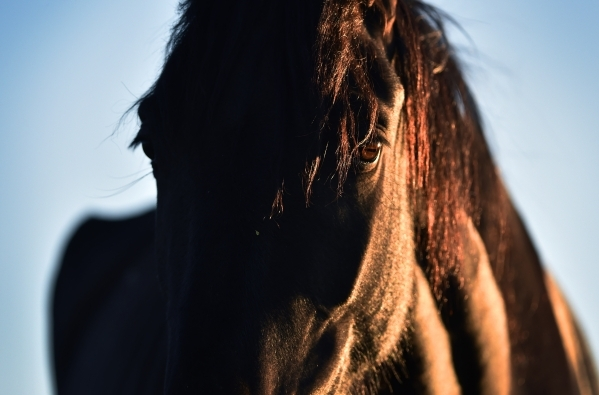 A wild horse looks on near the community of Cold Creek on Friday, July 24, 2015. Federal authorities announced plans Friday to round up as many as 200 wild horses with an emergency gather Saturday ...