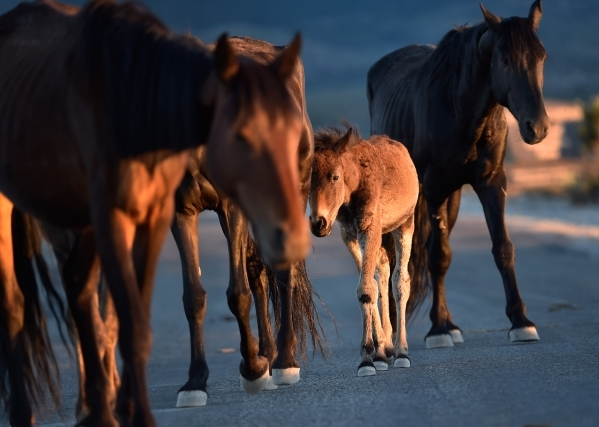 A young foal travels with its herd near the community of Cold Creek on Friday, July 24, 2015. (David Becker/Las Vegas Review-Journal)