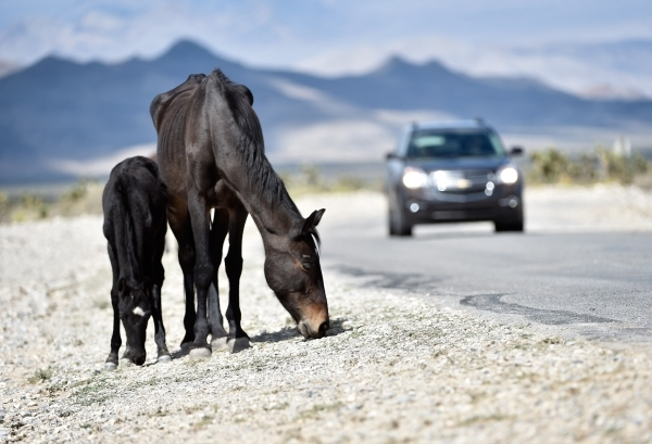 A young foal and mare graze along the road near the community of Cold Creek on Friday, Aug. 28, 2015. (David Becker/Las Vegas Review-Journal)
