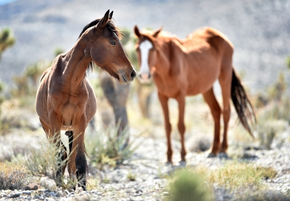 A you colt and mare pause from grazing near the community of Cold Creek on Friday, Aug. 28, 2015. (David Becker/Las Vegas Review-Journal)