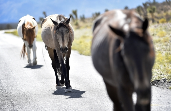 Wild horses travel along a road near the community of Cold Creek on Friday, Aug. 28, 2015. (David Becker/Las Vegas Review-Journal)
