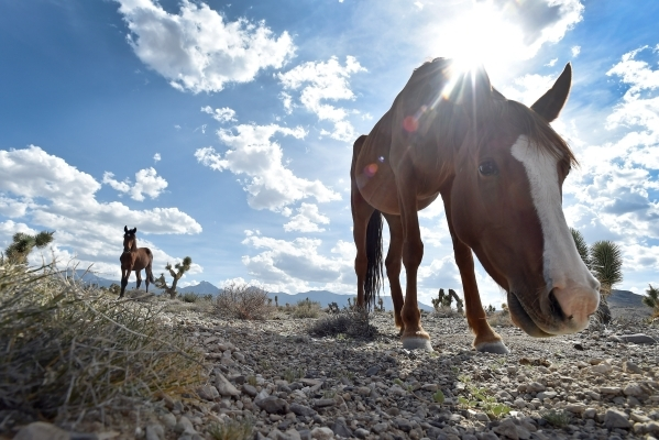A young colt and mare graze in the desert scrub near the community of Cold Creek on Friday, Aug. 28, 2015. (David Becker/Las Vegas Review-Journal)