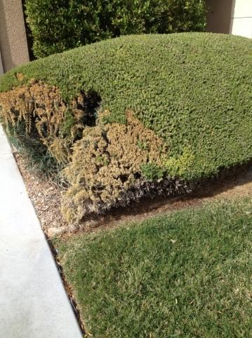Lawn Convension May Harm Older Trees In Las Vegas Las