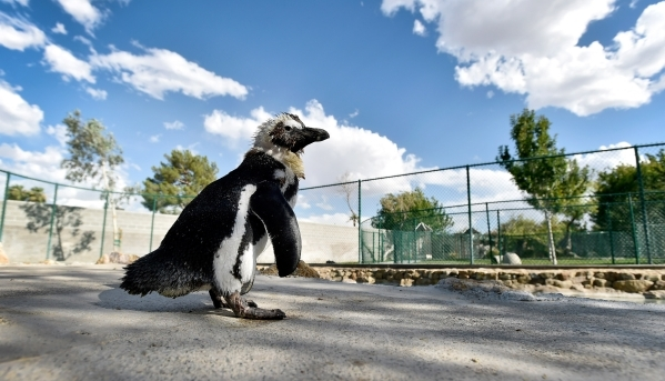 Charlie the penguin wanders in her pen at Casa de Shenandoah on Monday, Sept. 14, 2015, in Las Vegas.  The ranch at Sunset and Pecos roads in Las Vegas is scheduled to open for public tours on Fri ...