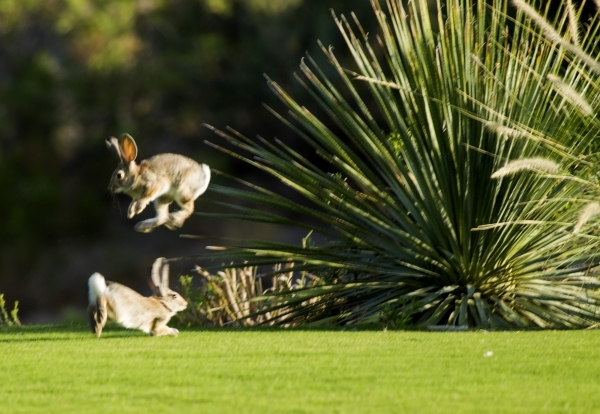 Rabbit frolic at Badlands Golf Course, 9119 Alta Drive, on Thursday, Sept. 10,2015.EHB Companies, the developers behind high-end retail center Tivoli Village, confirmed it had bought the cash-stra ...