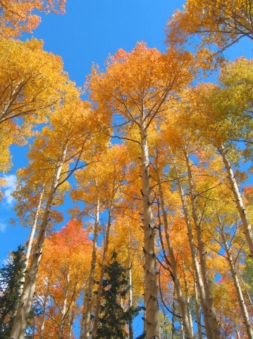 Because of the soil composition, many aspens turn orange and red in the fall, as well as yellow, along state Route 143 in Utah. UTAH OFFICE OF TOURISM