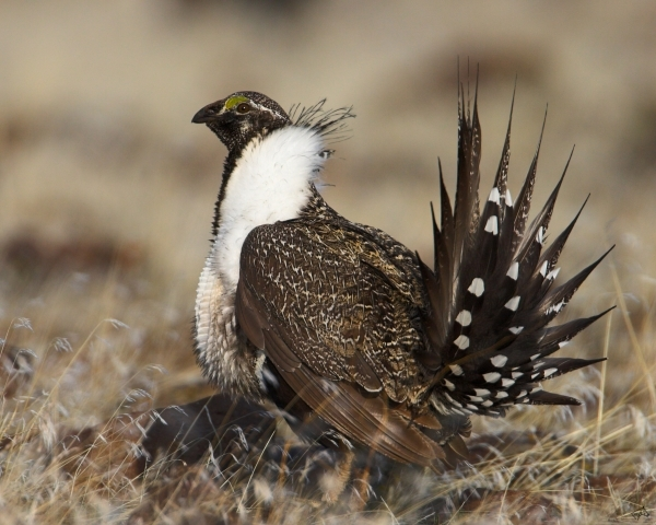 A sage grouse is shown in this March 28, 2006, file photo. Courtesy, Pahrump Valley Times