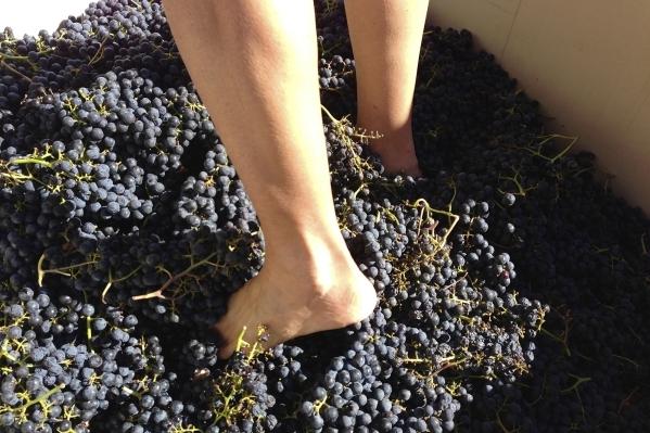 Stomping Merlot grapes in Sonoma, California