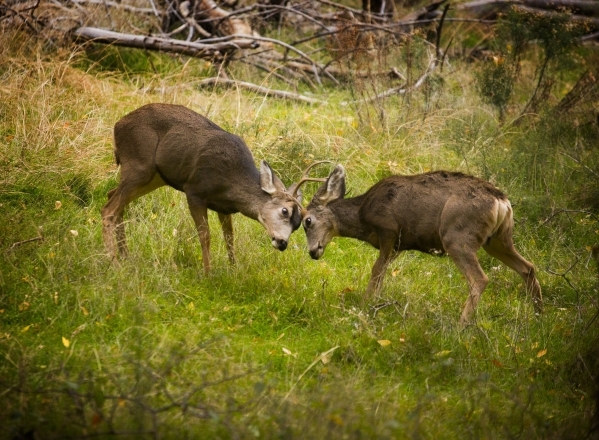 Two mule deer bucks butt heads  near the Temple of Sinawava bus stop in Zion National Park on Saturday, Nov.8, 2014. Early November is the best time to enjoy the fall foliage in the park.(Jeff Sch ...