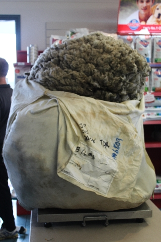 """Australian champion sheep chearer Ian Elkins, and gigantic sheep """"Chris,"""" set an unofficial world record in sheep shearing. It took 42 minutes to remove the 18 inches of fleece which the ..."""