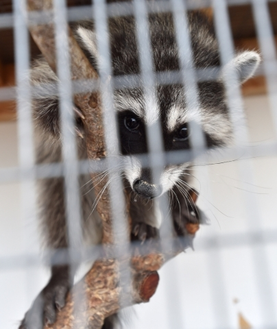 Bandit, a young raccoon, peers out its cage at the Desert Rescue Animal Sanctuary in Cold Creek on Friday, Aug. 28, 2015. The raccoon is set to be released after several months at the sanctuary. ( ...