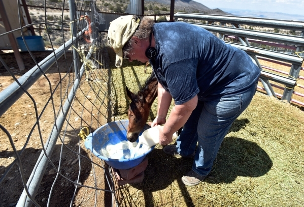 Executive director Lakota Spoolman of the Desert Rescue Animal Sanctuary watches over a several-week-old foal as it feeds at the Cold Creek property on Friday, Aug. 28, 2015. (David Becker/Las Veg ...