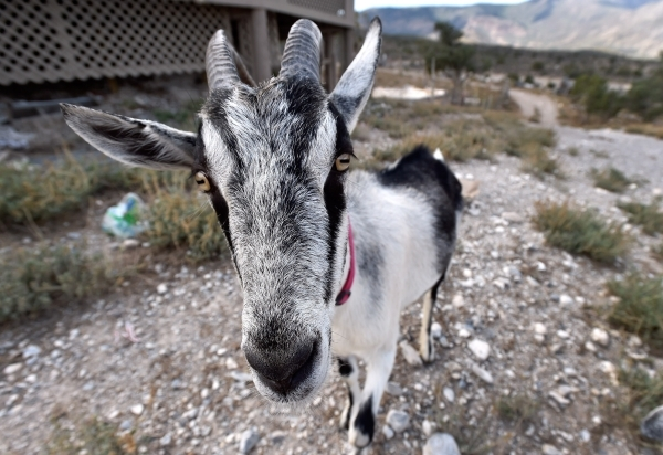 Stevie, one of several goats that wander the Desert Rescue Animal Sanctuary property, makes eye contact at the sanctuary in Cold Creek on Friday, Aug. 28, 2015. (David Becker/Las Vegas Review-Journal)