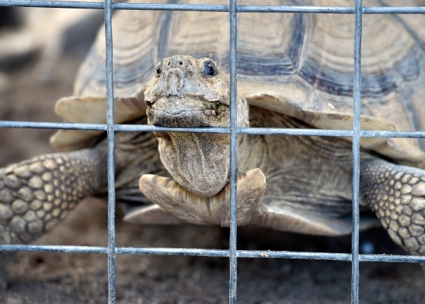 Lesita, an African tortoise that was rescued four years ago, peers out its cage at the Desert Rescue Animal Sanctuary in Cold Creek on Friday, Aug. 28, 2015. (David Becker/Las Vegas Review-Journal)