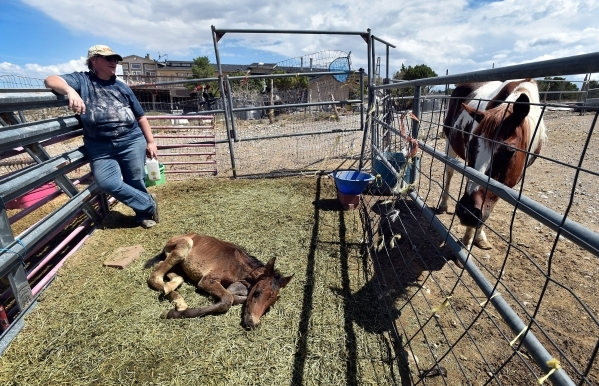 Executive director Lakota Spoolman of the Desert Rescue Animal Sanctuary watches over a several-week-old foal and an aging horse living at the Cold Creek property on Friday, Aug. 28, 2015. (David  ...