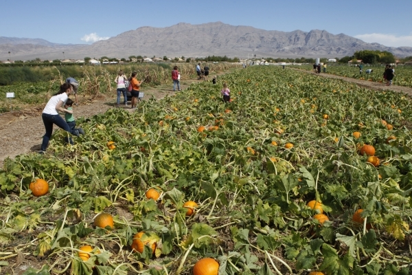 Families pick pumpkins at Gilcrease Orchard in Las Vegas Saturday, Sept. 27, 2014.  (Erik Verduzco/Las Vegas Review-Journal)