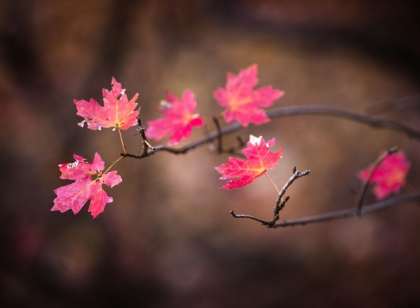 Leaves turning along the Emerald Pool trail in Zion National Park. (Jeff Scheid/Las Vegas Review-Journal)