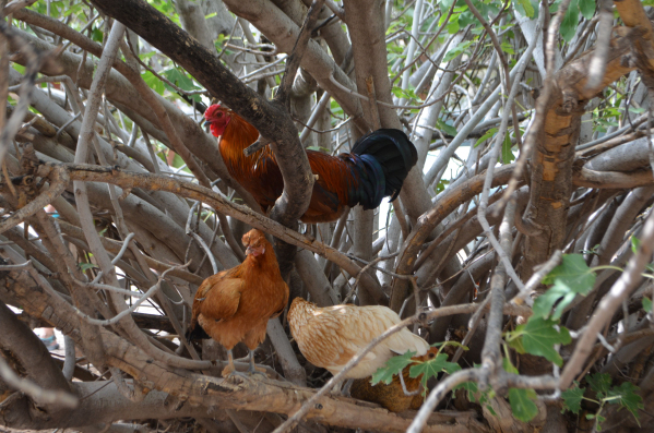 Chickens roost in a tree at Bonnie Springs Ranch. (Ginger Meurer/Special to View)