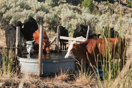 cattle1.jpg