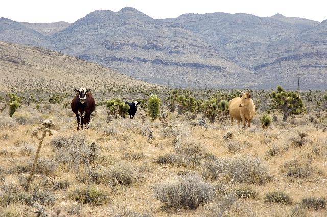 Cattle (Thinkstock)