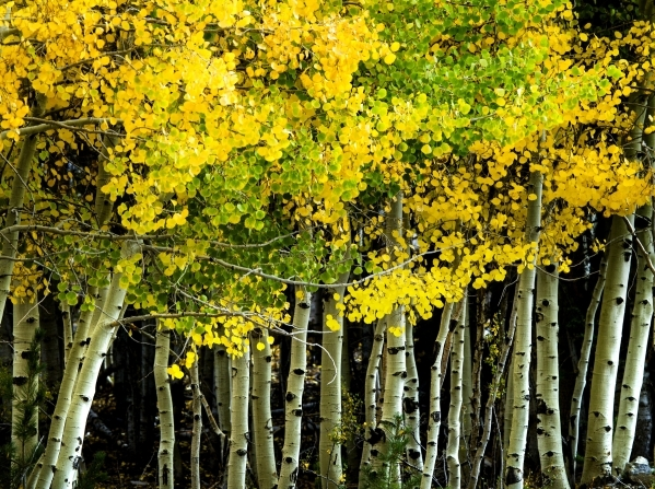 Aspen trees are seen bursting at Las Vegas Ski and Snowboard Resort on Monday, Sept. 28,2015. 2015. JEFF SCHEID/LAS VEGAS REVIEW-JOURNAL Follow @jlscheid