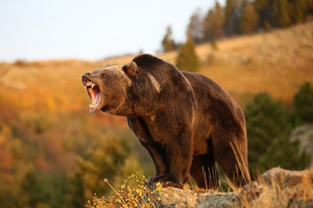 North American Grizzly Bear (Thinkstock)